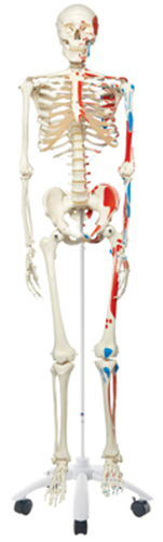 Picture of Scientific Anatomical Model Skeleton
