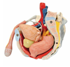Picture of Anatomy Models